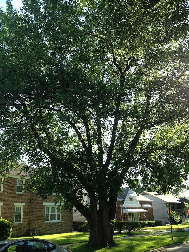 Tree #15